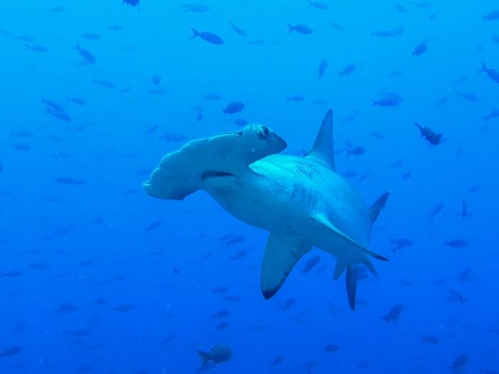 Galapagos_Aqua_Hammerhai