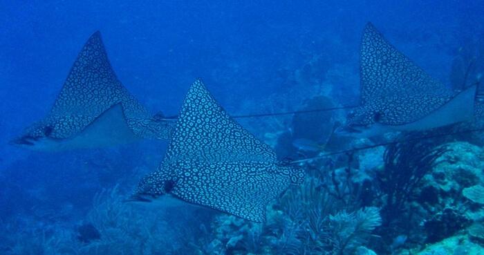 Galapagos_Aqua_Stechrochen