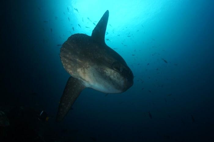 Galapagos_Aqua_Mondfisch