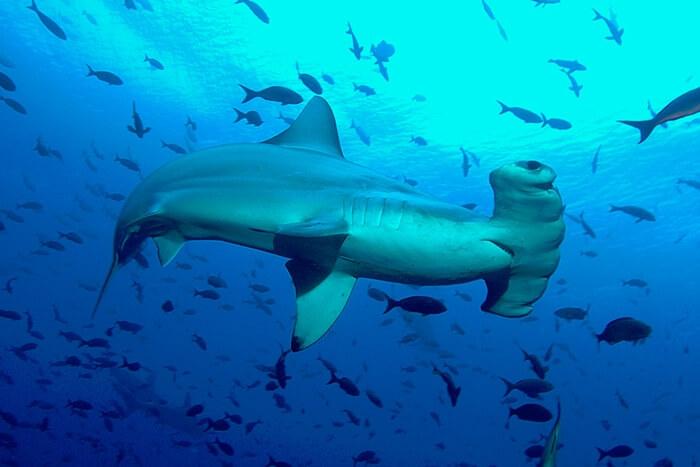 Galapagos_Aqua_Hammerhaie