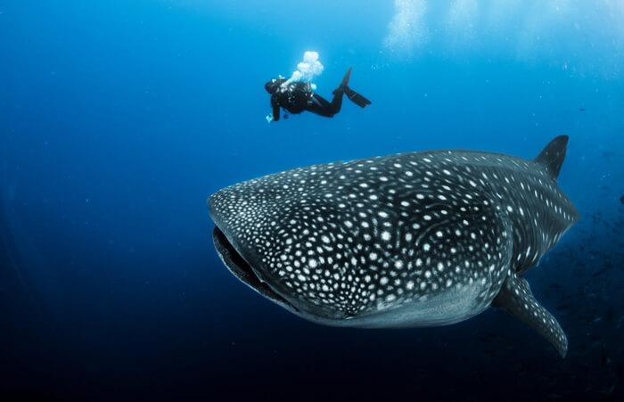 Galapagos_Aqua_Walhai