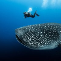 Galapagos Walhai